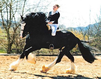 shire horse verkaufspferde norddeutschland